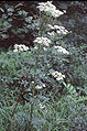Pleurospermum austriacum eF.jpg