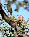 Plicosepalus sagittifolius Makueni County 3.jpg