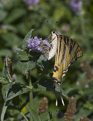 Exemplar of Old World Swallowtail (Papilio machaon) in Añón, Aragon, Spain