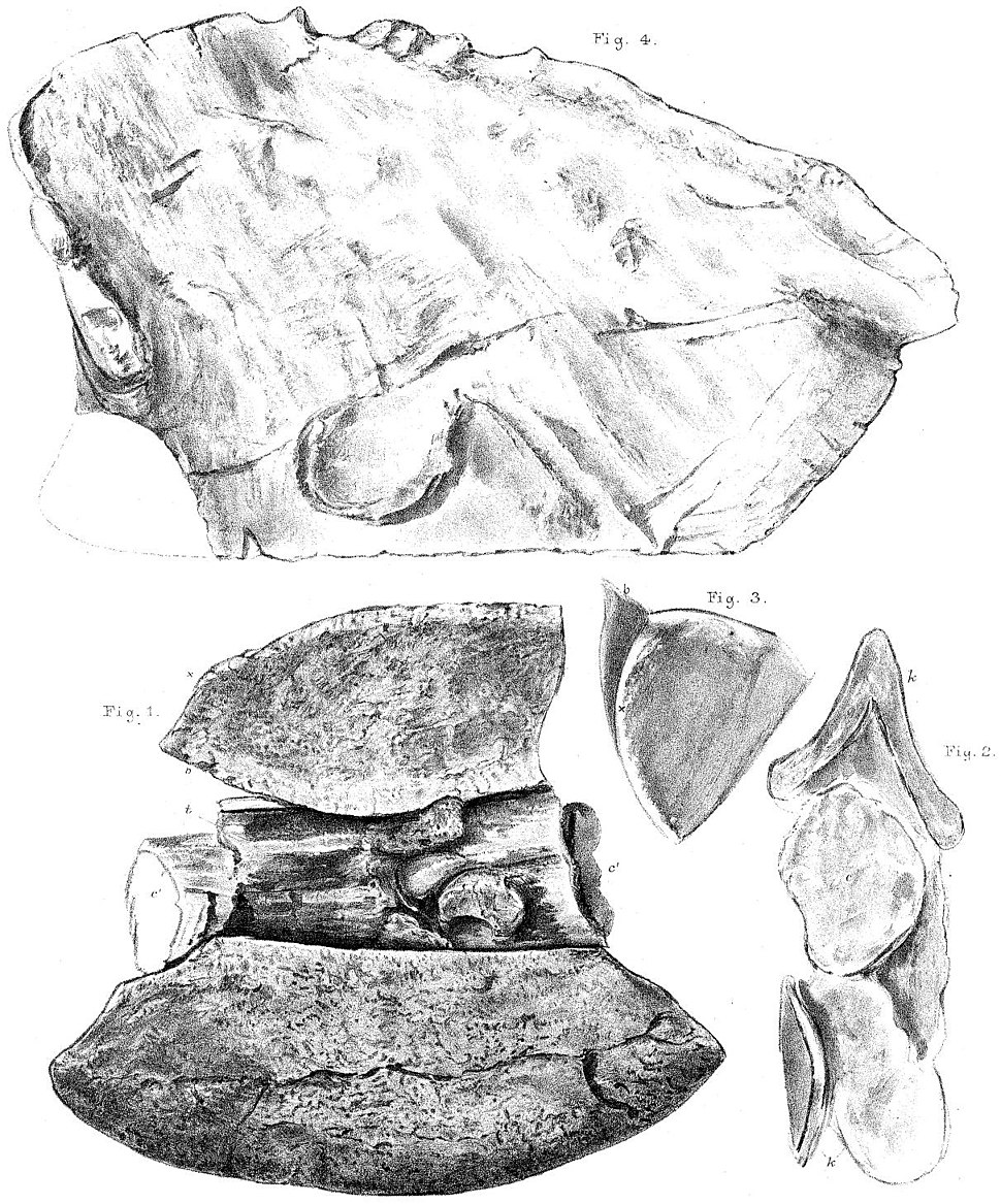Polacanthus fossils
