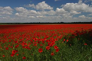 Poppy Field near Ozhydiv.JPG