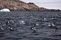 Porpoising penguins (Pygoscelis adeliae).jpg