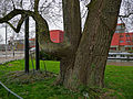 Portray of a big city-tree in Amsterdam.jpg