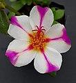 Portulaca-chiara-rose-3-mudas 1909.jpg