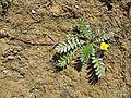 Potentilla anserina (subsp. anserina) sl12.jpg