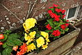 Powderham Castle rose garden (7703).jpg