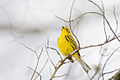 Prairie Warbler 2.jpg