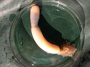 Priapulid worm Priapulus caudatus in a Petry d...