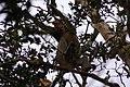 Proboscis Monkey (Nasalis larvatus) (6967246560).jpg