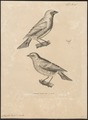 Procnias tersa - 1700-1880 - Print - Iconographia Zoologica - Special Collections University of Amsterdam - UBA01 IZ15900411.tif
