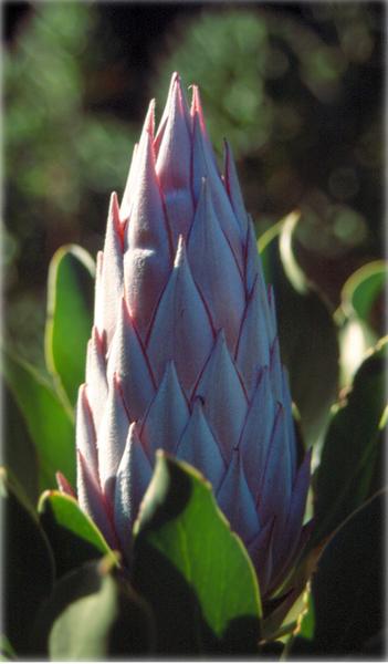 File:Protea cynaroides.png