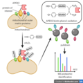 Proximity labeling proteomics of mitochondrial outer membrane.png