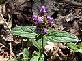 Prunella vulgaris 145635650.jpg