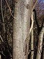 Prunus padus subsp. padus sl19.jpg