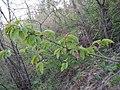 Prunus sp. (Rosaceae) 03.jpg