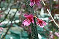 Prunus x yedoensis 6zz.jpg
