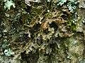 Pseudocyphellaria perpetua McCune & Miadlikowska 237820.jpg