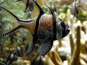 Apogonidae - Pterapogon kauderni