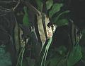 Pterophyllum scalare (freshwater angelfish) 1 (15719206915).jpg