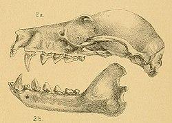 Pteropus admiralitatum.jpg