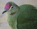 Ptilinopus greyii -mainland of New Caledonia- sub-adult -6.jpg