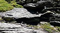 Puffins nesting at Skellig Michael 12.jpg