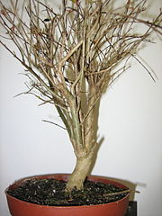 Punica granatum bonsai.jpg