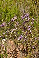 Purple Gorse (Muraltia heisteria) (31990391684).jpg