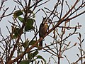 Pycnonotus jocosus (40300112134).jpg