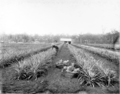 Queensland State Archives 2651 First crop of pineapples at the State Farm Beerburrum January 1920.png