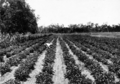 Queensland State Archives 4341 Peanuts at State Farm Warren Central Queensland c 1930.png