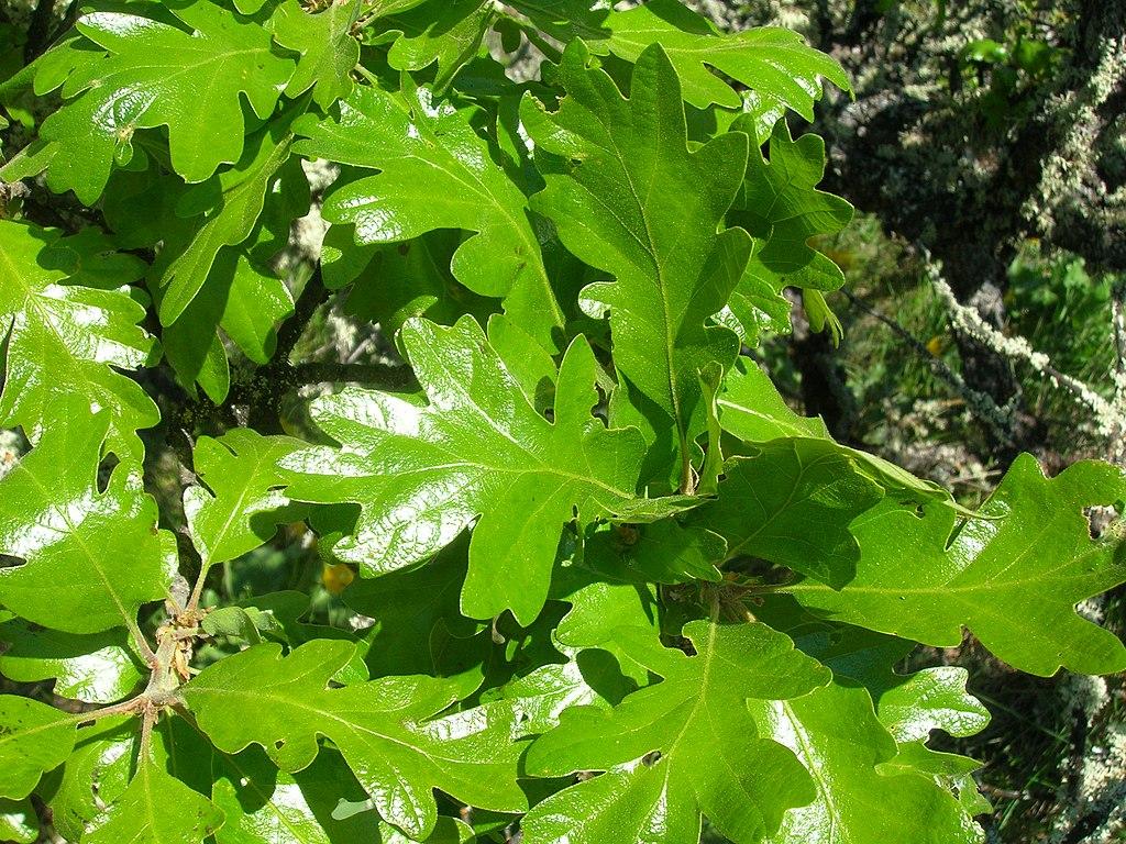 Quercus garryana 1 (brewbooks)