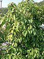 Quercus glauca1.jpg