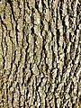 Quercus pubescens sl32.jpg