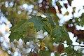 Quercus rubra (6).jpg