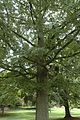 Quercus shumardii (24130463921).jpg