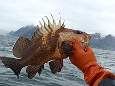 Quillback rockfish - Wikipedia