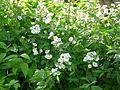 Róża krzaczasta Kew Gardens 02.jpg