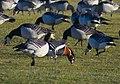 Rödhalsad Gås Red-breasted Goose (20163004938).jpg
