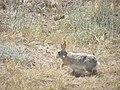 Rabbit P7180302.jpg