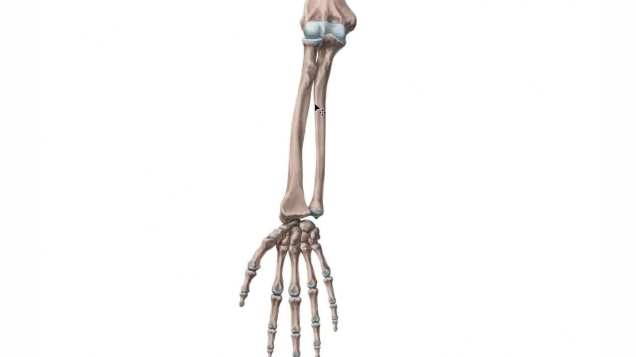 File:Radius and ulna (preview) - Human Anatomy Kenhub 1.webm ...