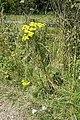 Ragwort alongside the motorway - geograph.org.uk - 911834.jpg
