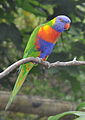 Rainbow Lorikeet1.JPG