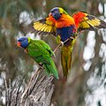 Rainbow Lorikeet Pair (21246206008).jpg