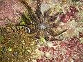 RajaAmpat dd4-5 059 laid-back crinoid.jpg