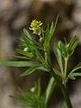 Ranunculus allegheniensis PA (cropped).jpg