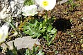 Ranunculus alpestris (44678216111).jpg