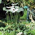 Ranunculus asiaticus-IMG 0295.jpg