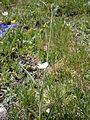 Ranunculus kuepferi05.jpg