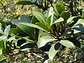 Rapanea melanophloeos, blare, Louwsburg.jpg